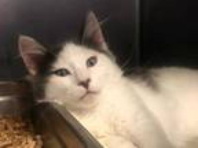 Adopt a Gray or Blue (Mostly) Domestic Longhair / Mixed (long coat) cat in