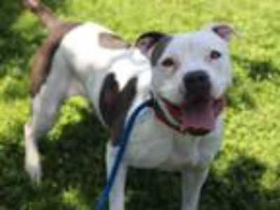 Adopt BEAUTY a Pit Bull Terrier