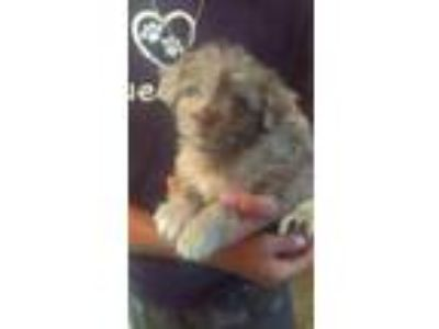 Adopt Puddles a Tan/Yellow/Fawn Shih Tzu / Mixed dog in New Smyrna Beach