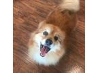 Adopt Yummy Burger a Red/Golden/Orange/Chestnut Pomeranian / Corgi / Mixed dog