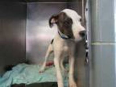 Adopt Tank a White American Pit Bull Terrier / Mixed dog in Chicago