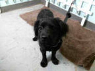 Adopt COACOA a Black Cocker Spaniel / Mixed dog in Lancaster, CA (24682175)