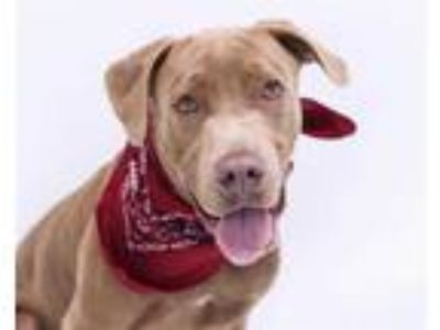 Adopt COCO a Brown/Chocolate Labrador Retriever / Mixed dog in Orlando