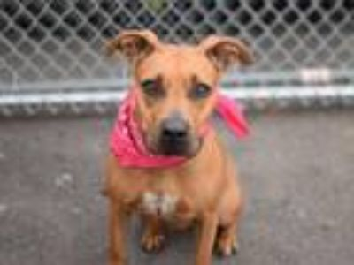 Adopt Roxy a Red/Golden/Orange/Chestnut - with White American Pit Bull Terrier /
