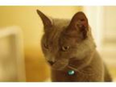 Adopt Loki a Gray or Blue American Shorthair / Mixed cat in Kansas City