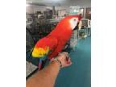 Adopt Scarlet a Macaw