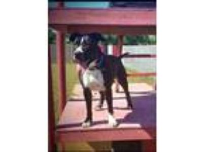 Adopt Chuck a Black American Pit Bull Terrier / Mixed dog in Justin
