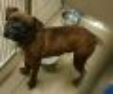 Chuck Boxer - Mixed Breed Dog