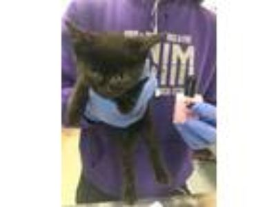 Adopt Jaylah a All Black Domestic Shorthair / Domestic Shorthair / Mixed cat in