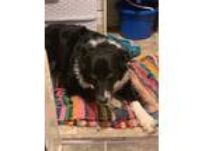 Adopt Layla Love a Black - with White Border Collie / Mixed dog in Thomasville