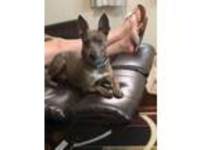 Adopt Ollie a Gray/Silver/Salt & Pepper - with Black Rat Terrier / Mixed dog in