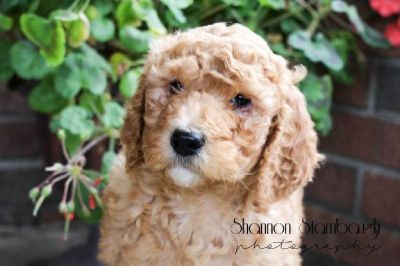 Sally Female AKC Standard Poodle