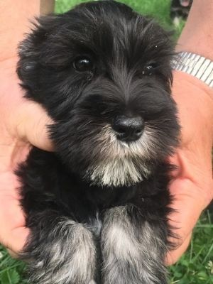 Schnauzer (Miniature) PUPPY FOR SALE ADN-85303 - Miniature Schnauzer Puppies