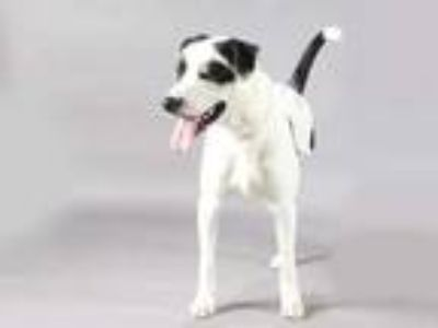 Adopt LUKE a White - with Black Pointer / Labrador Retriever / Mixed dog in St.