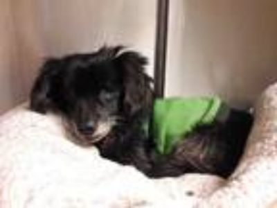 Adopt Shelby a Black Spaniel (Unknown Type) / Pomeranian / Mixed dog in Encino