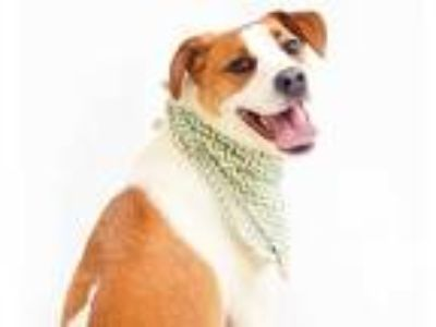Adopt MATT a White - with Tan, Yellow or Fawn Treeing Walker Coonhound / Beagle
