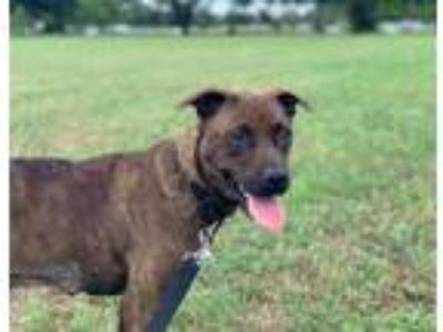 Adopt CHIQUIS a Brindle - with White Hound (Unknown Type) / Mixed dog in Austin