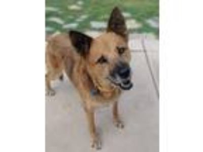 Adopt Ms. Daisy a Australian Shepherd, German Shepherd Dog