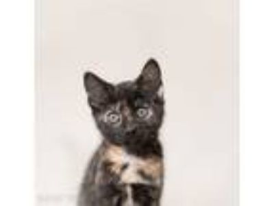 Adopt Catrina a Domestic Short Hair
