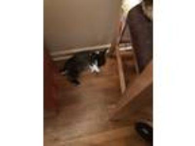 Adopt It s a rabbit a Black & White or Tuxedo Devon Rex / Mixed cat in