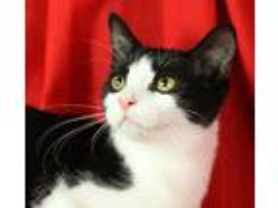 Adopt Stewart a Black & White or Tuxedo Domestic Shorthair (short coat) cat in