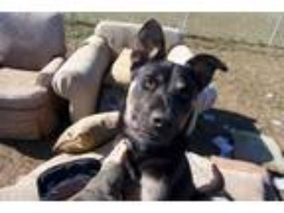 Adopt *Rumble a Labrador Retriever