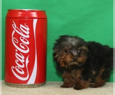 Yorkshire Terrier PUPPY FOR SALE ADN-131160 - Micro amp Teacup Yorkies