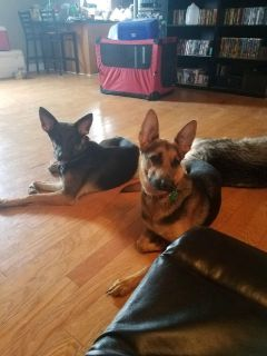 Puppy - For Sale Classifieds in Smyrna, Tennessee - Claz org