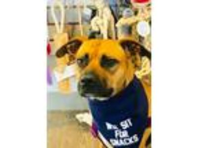 Adopt Marilyn a Red/Golden/Orange/Chestnut - with White Boxer / Mixed dog in