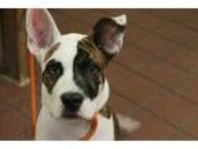 Adopt Julian a Brown/Chocolate American Staffordshire Terrier / Bull Terrier /