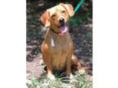 Adopt BRIENNE a Labrador Retriever