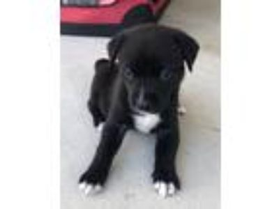Adopt JANET a Black - with White Labrador Retriever / Mixed dog in San Marcos