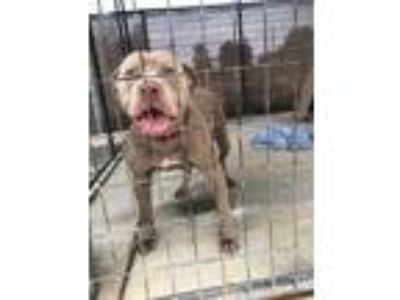Adopt Toby a Tan/Yellow/Fawn American Pit Bull Terrier / Mixed dog in Sanger