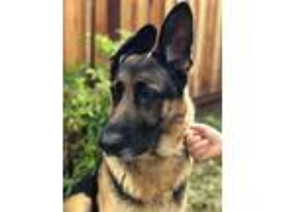 Adopt Fiona a German Shepherd Dog