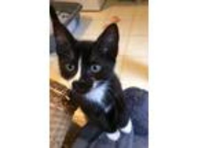 Adopt Azul a All Black Domestic Shorthair / Domestic Shorthair / Mixed cat in