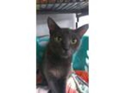 Adopt Lucy a Russian Blue, Domestic Short Hair