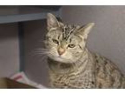 Adopt Cat 1 a Domestic Short Hair