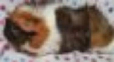 Godiva Guinea Pig - Abyssinian Small & Furry