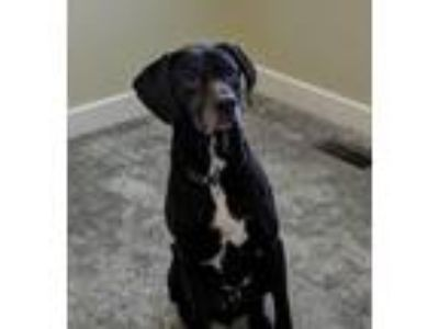 Adopt Rondo a German Shorthaired Pointer