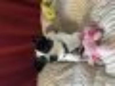 SNOOPY Rat Terrier Dog