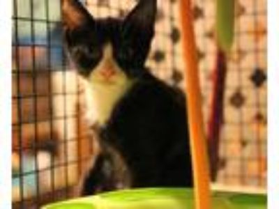 Adopt Izzie a Domestic Short Hair