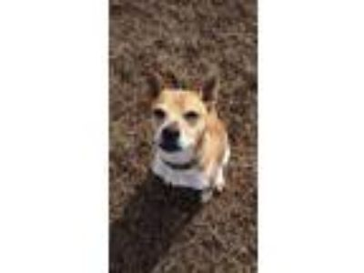 Adopt Layla a Tan/Yellow/Fawn Beagle / Mixed dog in Shelbyville, KY (18616500)