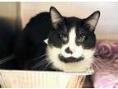Adopt Zeus a All Black Domestic Shorthair / Domestic Shorthair / Mixed cat in