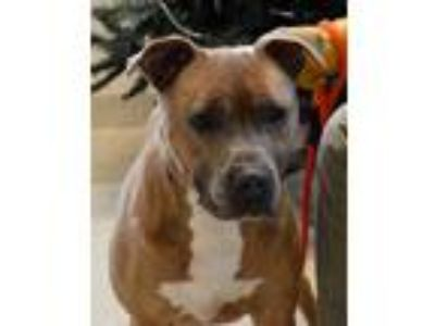 Adopt Kody aka Doug a Tan/Yellow/Fawn American Pit Bull Terrier / Mixed dog in