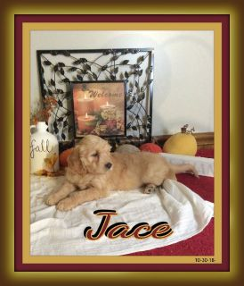 Jace Male Goldendoodle 330-826-1882 Text or Call $475.00 New price and New Photos 11-12-18