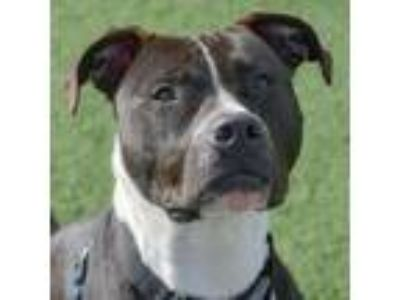 Adopt Rutabaga a Boxer / Labrador Retriever dog in Asheville, NC (24547088)