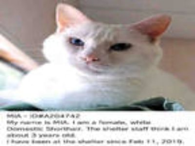 Adopt MIA a White Domestic Shorthair / Mixed (short coat) cat in Fort Walton