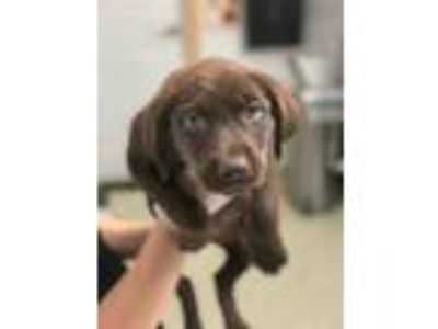 Adopt Mindy a Brown/Chocolate - with White Labrador Retriever / Mixed dog in St.