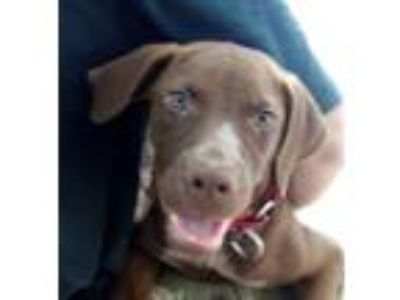 Adopt Nicky! THE BEST DEMEANOR! a Weimaraner, Vizsla
