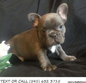 Quality!#*French Bulldog Puppies For Sale